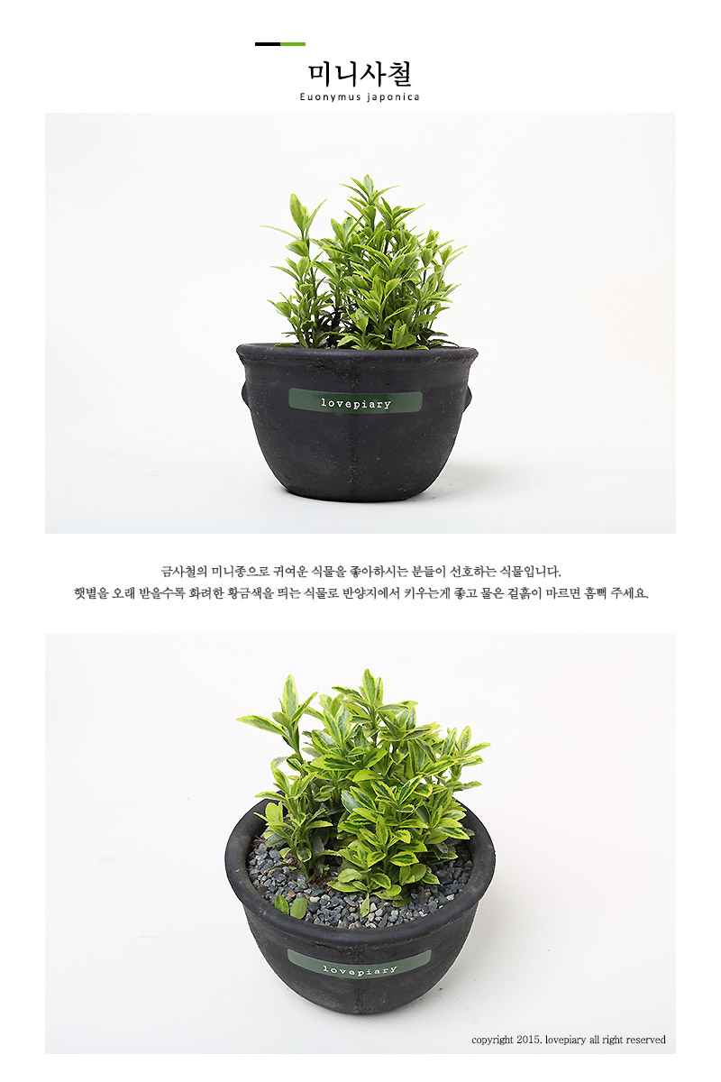 키우기 쉬운 실내공기정화식물 시루화분 시리즈 - 러브피어리, 9,800원, 허브/다육/선인장, 공기정화식물